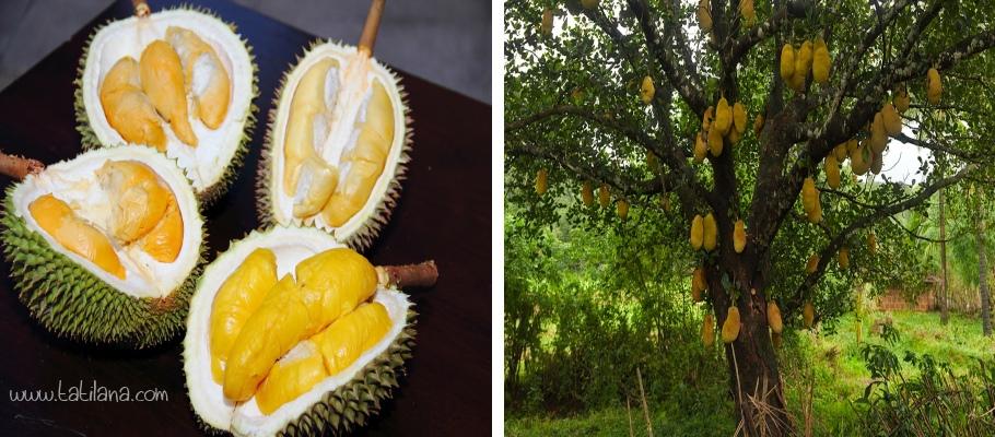 Durian Meyvesi Tayland