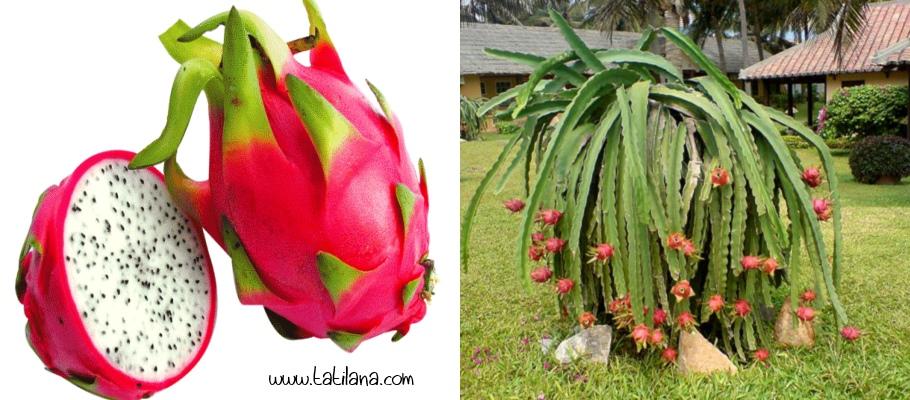 Ejderha Meyvesi Tayland